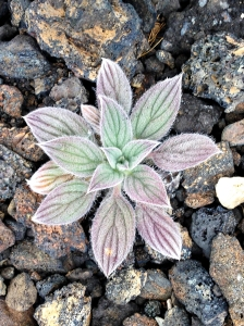 A native plant existing in the volcanic rocks of Craters Of The Moon National Monument