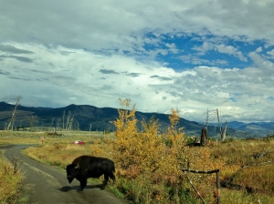 Buffalo who wouldn't yield to oncoming traffic on the Blacktail Plateau Road
