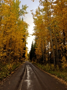 Aspens along Pacific Creek Road where we camped in the Tetons area