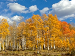 Golden and red-tinged aspens along the drive to Green River Lakes
